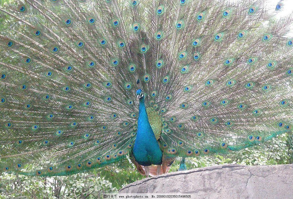 孔雀开屏 孔雀 开屏 生物世界 野生动物 摄影图库 72 jpg
