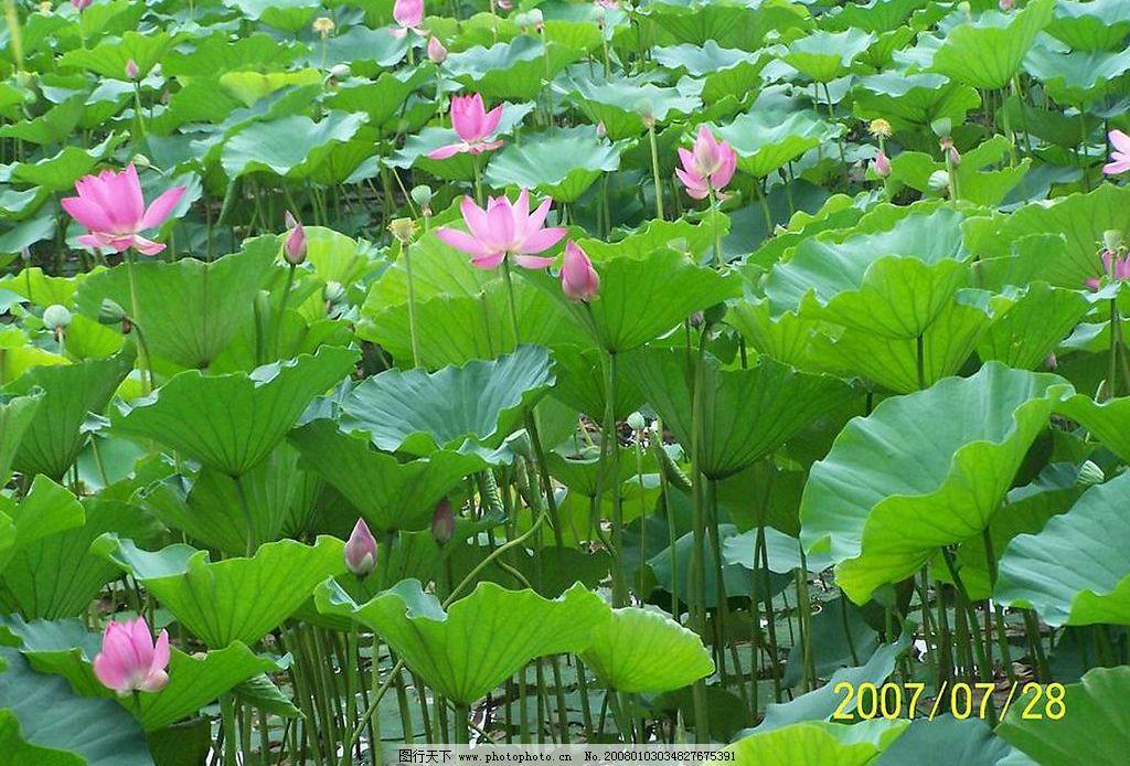 满池荷花 荷花 荷叶 自然景观 自然风景 白洋淀的荷花 摄影图库 300