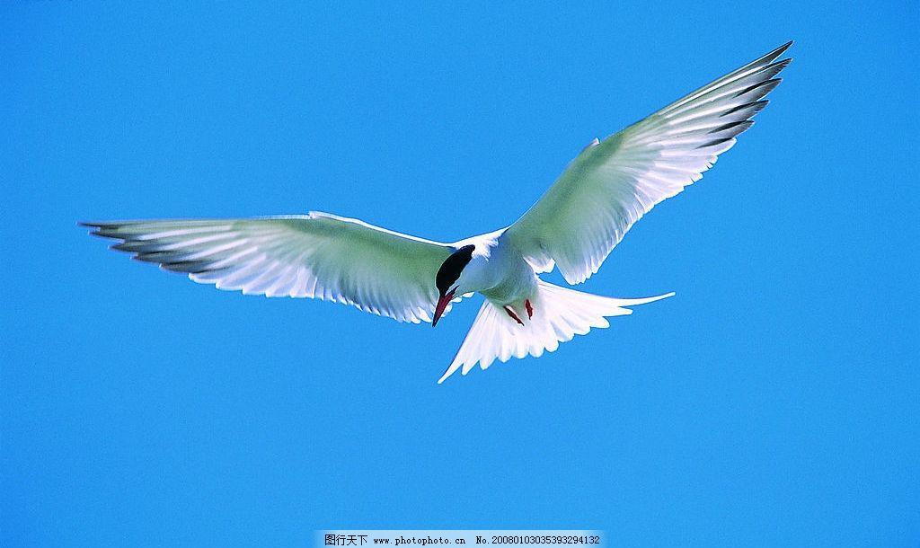 飞 鸟 天空 鸟儿 生物世界 鸟类 摄影图库 jpg
