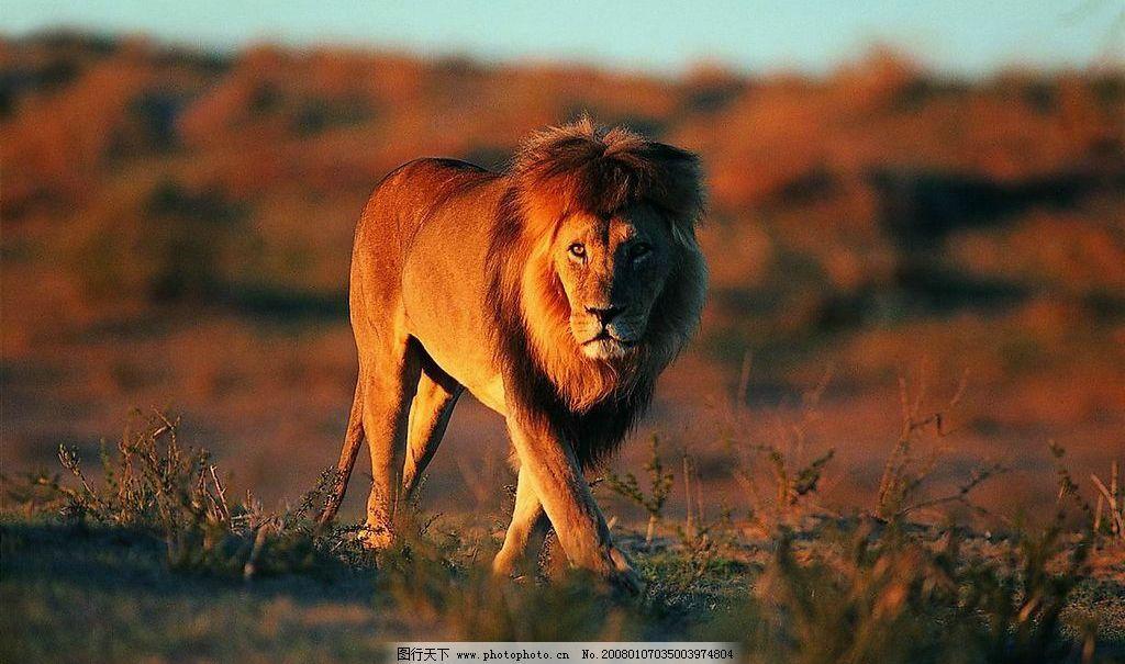 非洲草原雄狮 狮子 生物世界