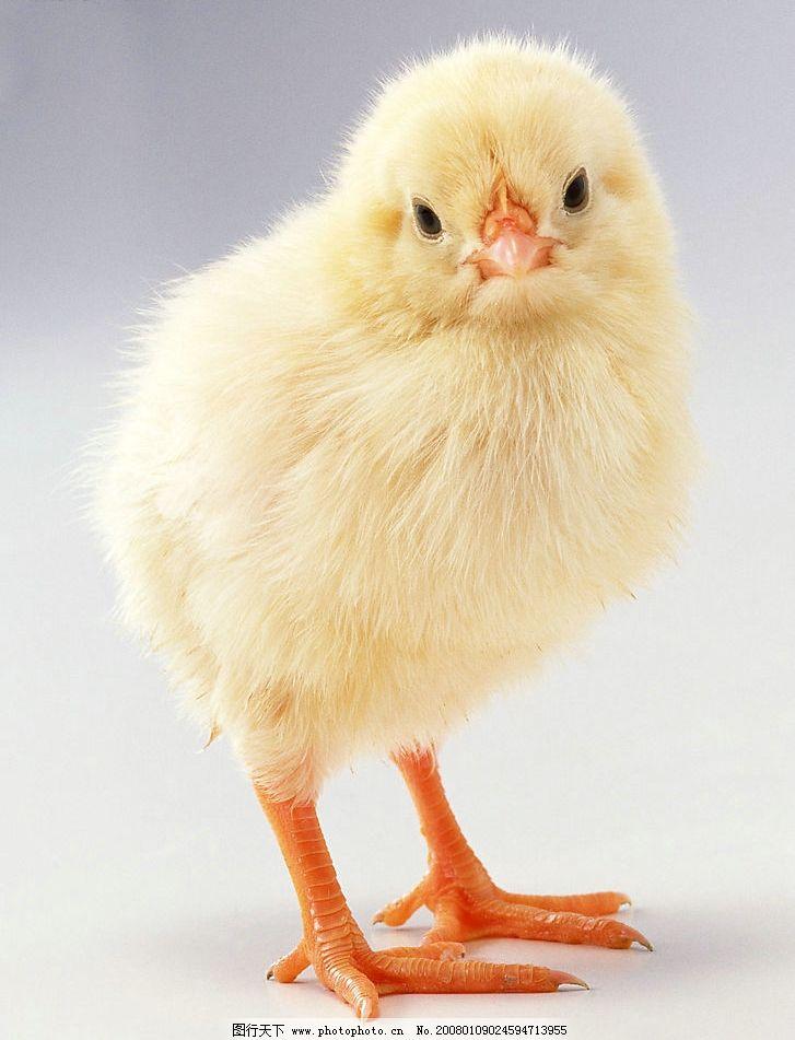 动物世界 家禽 鸡图片