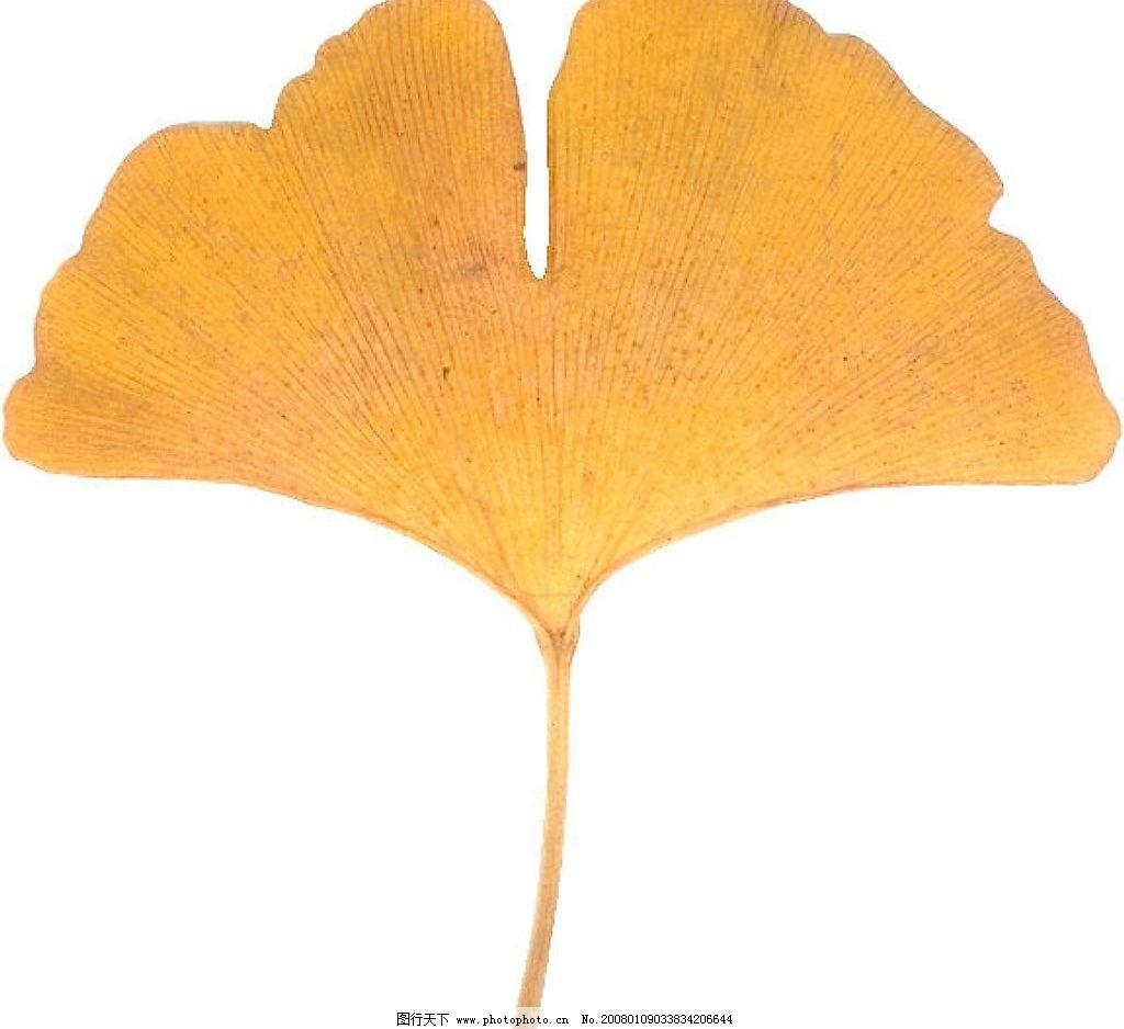 银杏叶 其他 图片素材 设计图库 jpg图片