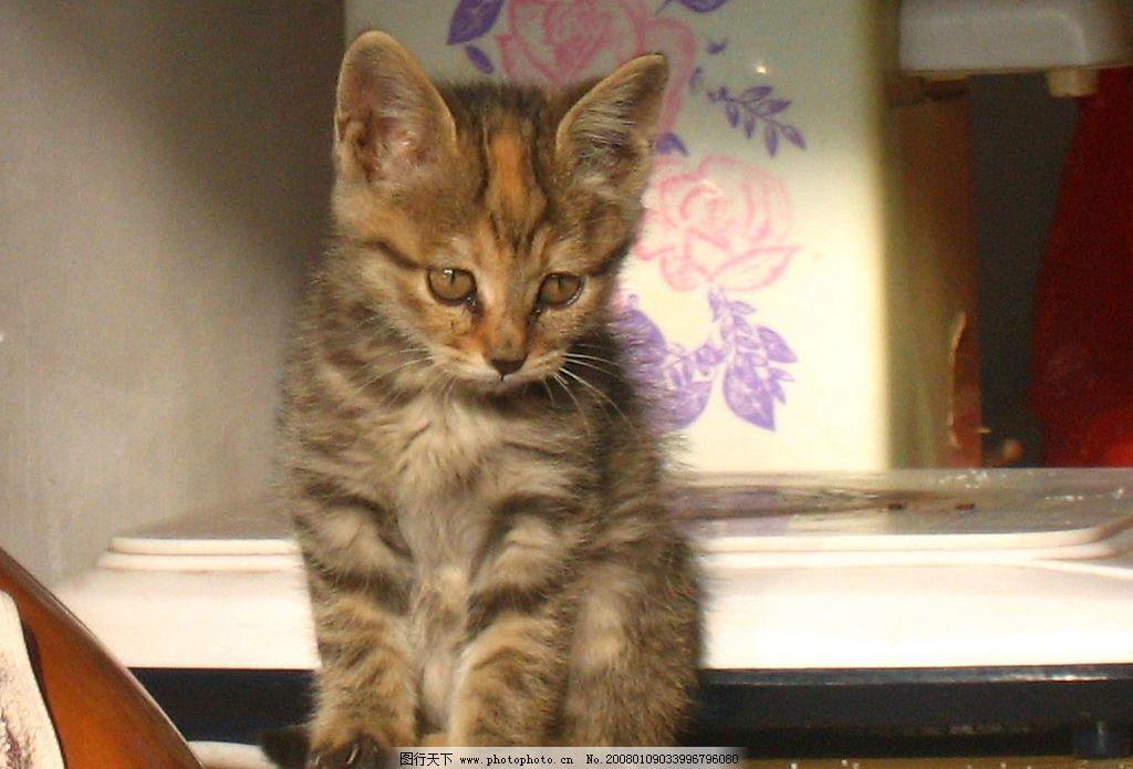 小花狸猫 小猫 猫咪 可爱的小猫 旅游摄影 国内旅游 西部之行
