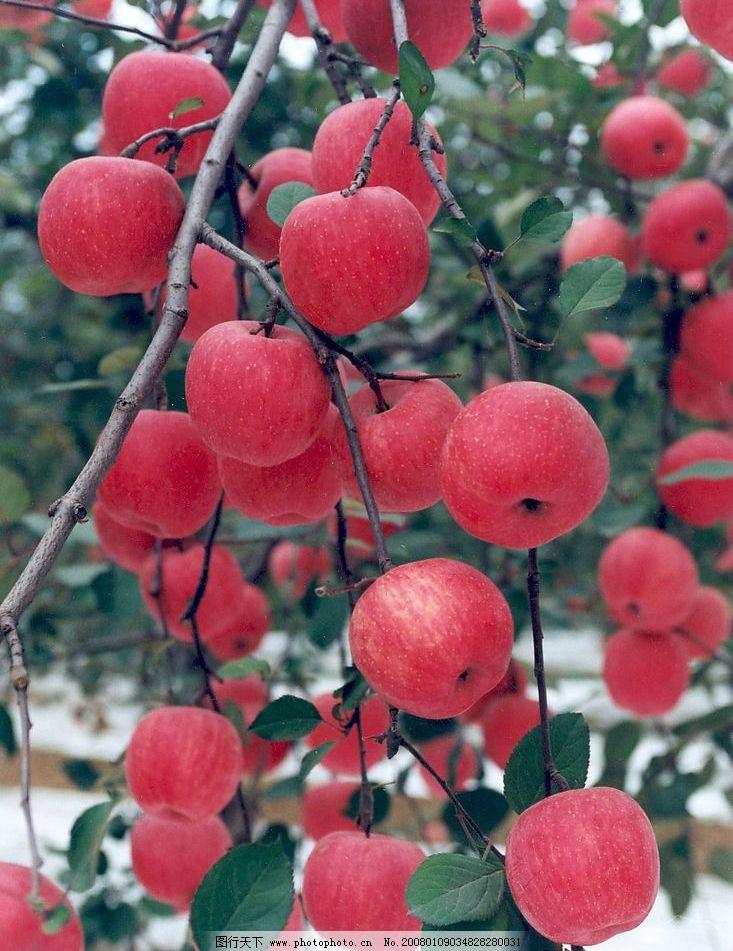 硕果累累 红苹果 果实 收获 自然景观 自然风景 草木有情 摄影图库 72