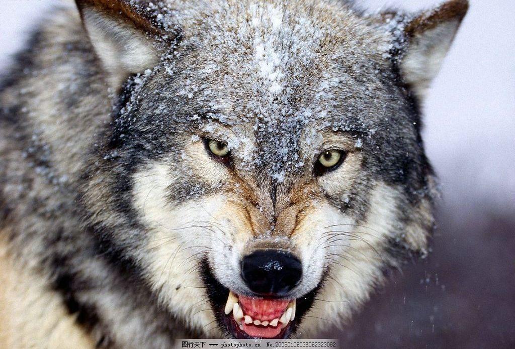 雪狼 狼 动物 生物世界