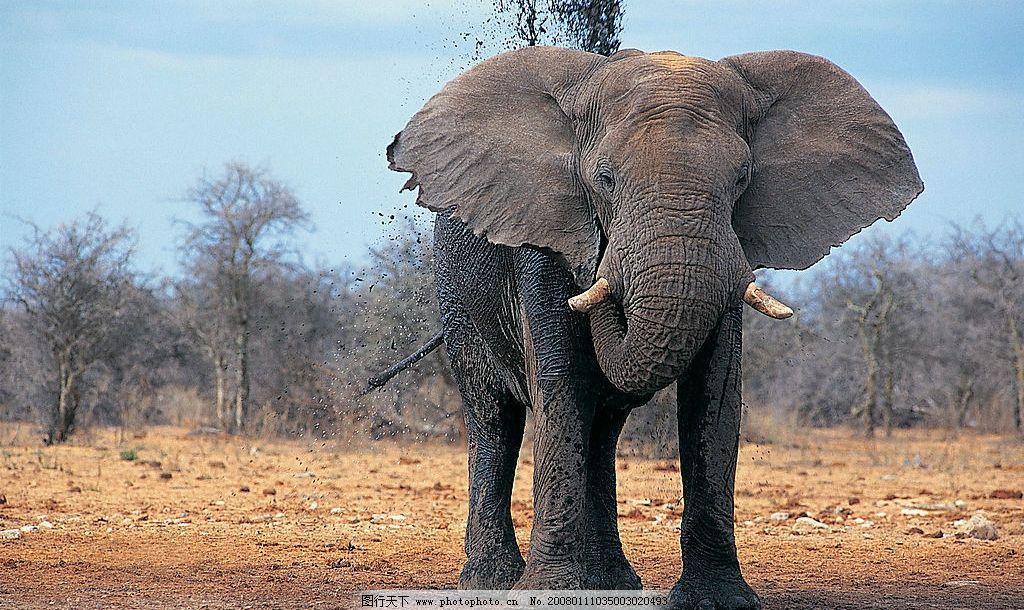 大象正面图 大象 动物 生物世界 野生动物 大象王国 摄影图库 305 jpg