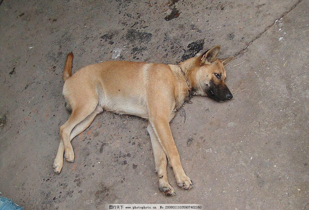 黄狗 狗躺在地上 生物世界 家禽家畜 摄影图库 72 jpg