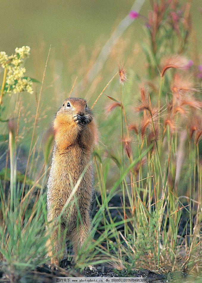 松鼠 动物世界 站立的松鼠 生物世界 野生动物 动物图片素材类 摄影
