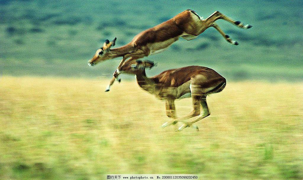 袋鼠004 动物世界 奔跑的袋鼠