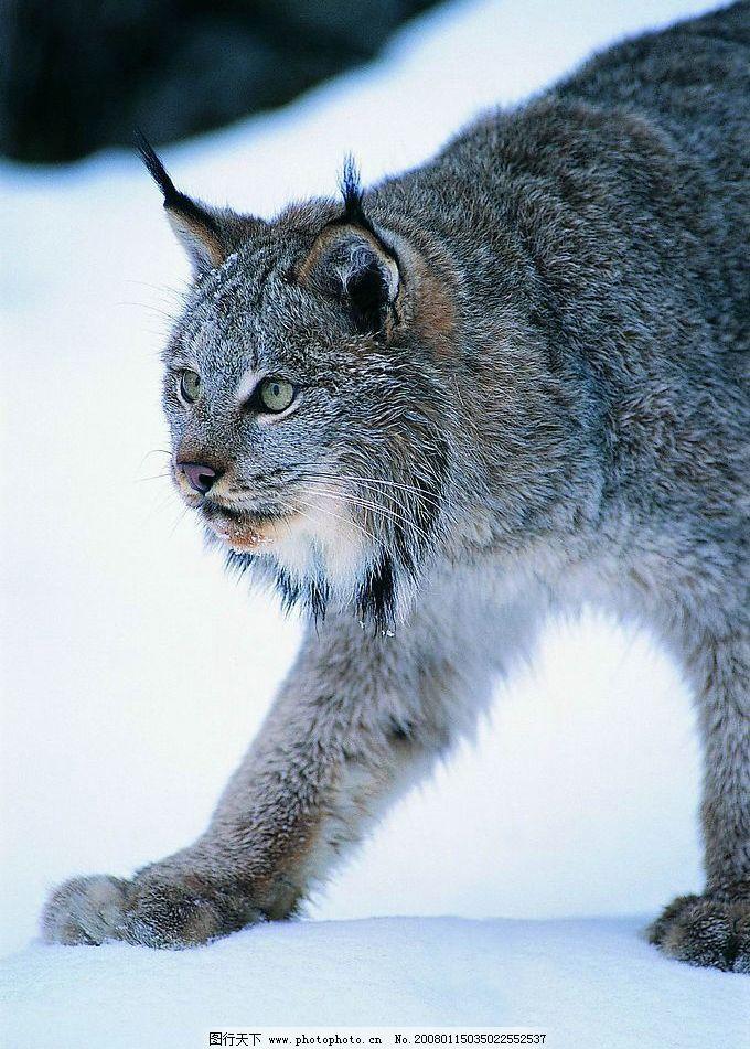 雪地猞猁 猞猁 生物世界 野生动物 动物世界 摄影图库   jpg