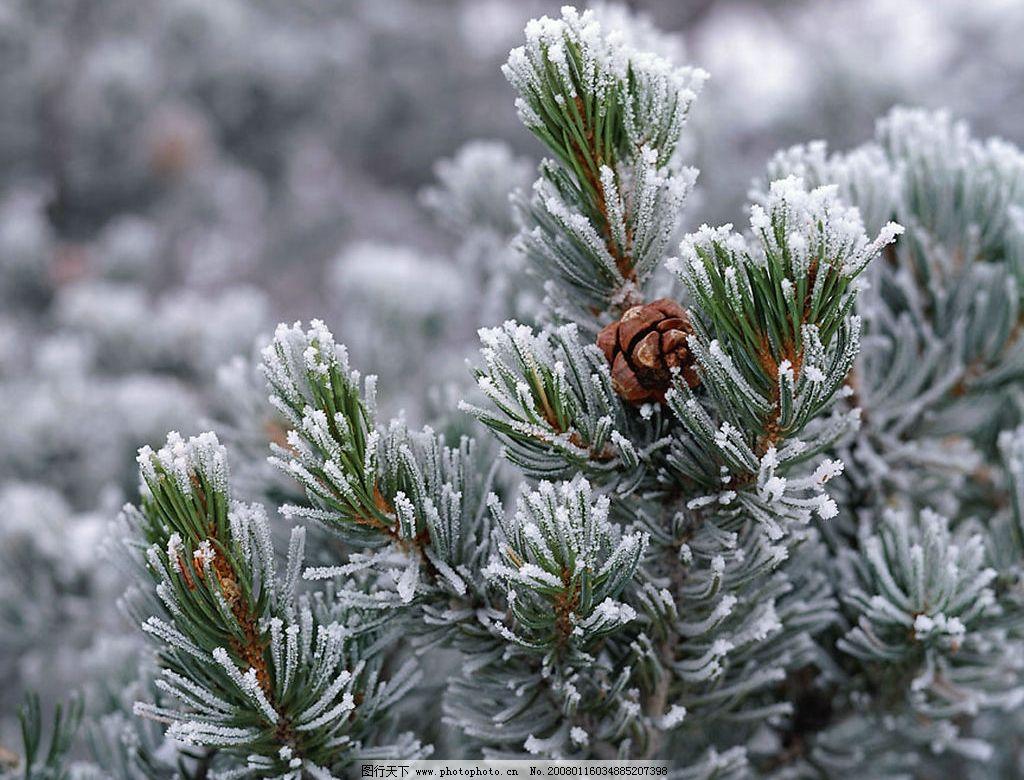 高清摄影 冬天 冬景 松树 雪景 摄影 自然景观 自然风景 摄影图库 300