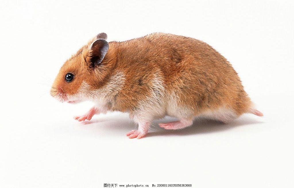 老鼠图片_野生动物_生物世界_图行天下图库