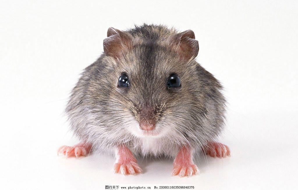 老鼠 生物世界 野生动物 摄影图库