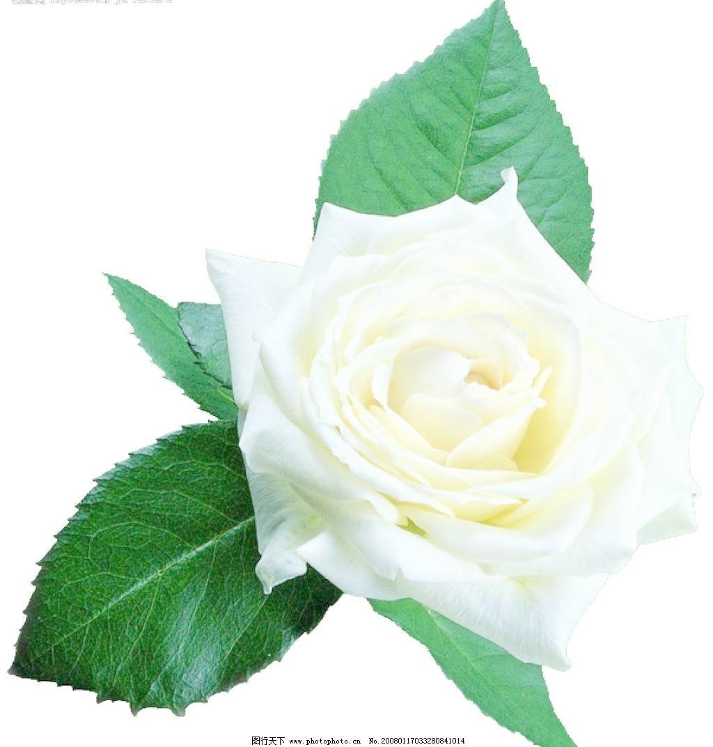 情人节用白玫瑰素材 情人节用白玫瑰素材图片免费下载 源文件库 情人节用白玫瑰素材素材下载