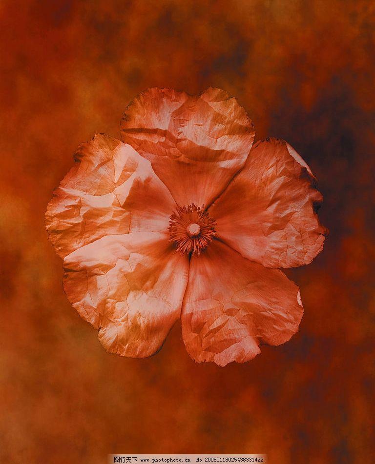 干花 设计素材 背景图片 广告图库 花草植物 花卉 意象 生物世界 其他
