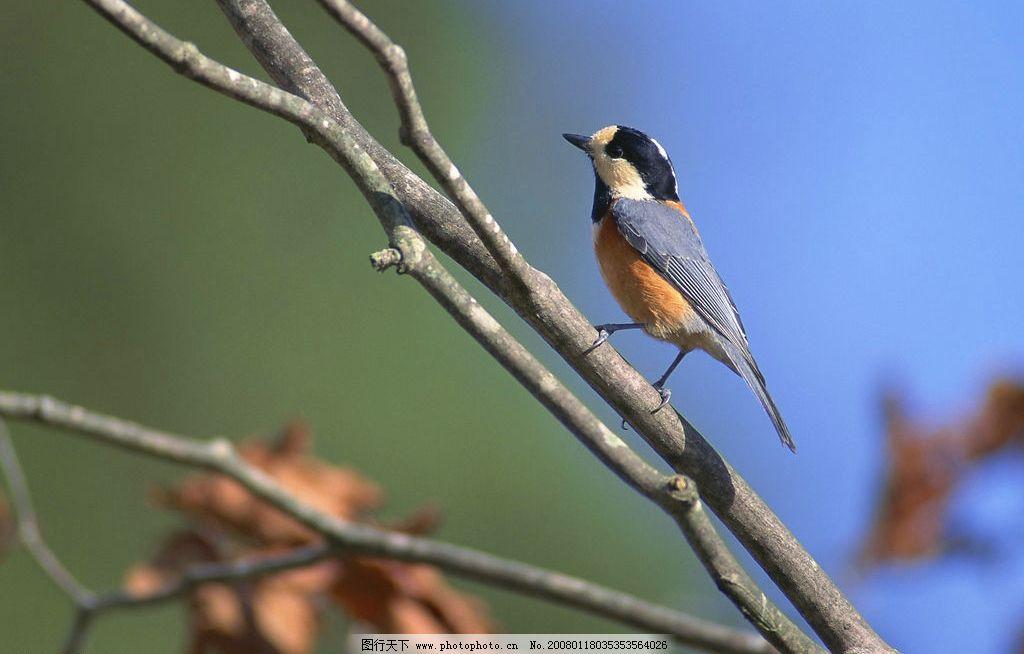 树枝上的小鸟图片