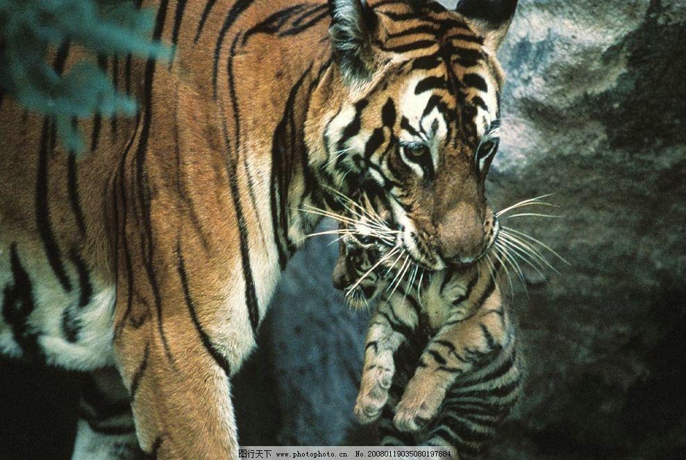 保护动物老虎简笔画