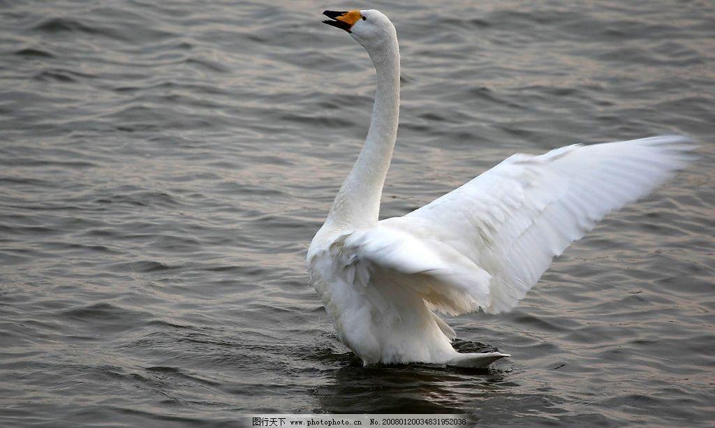 天鹅 大海 自然景观 自然风景 摄影图库 72 jpg
