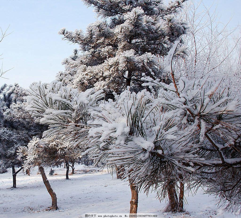 大雪压枝头 松树 冬景 冬季 雪 北方 自然景观 自然风景 摄影图库 150