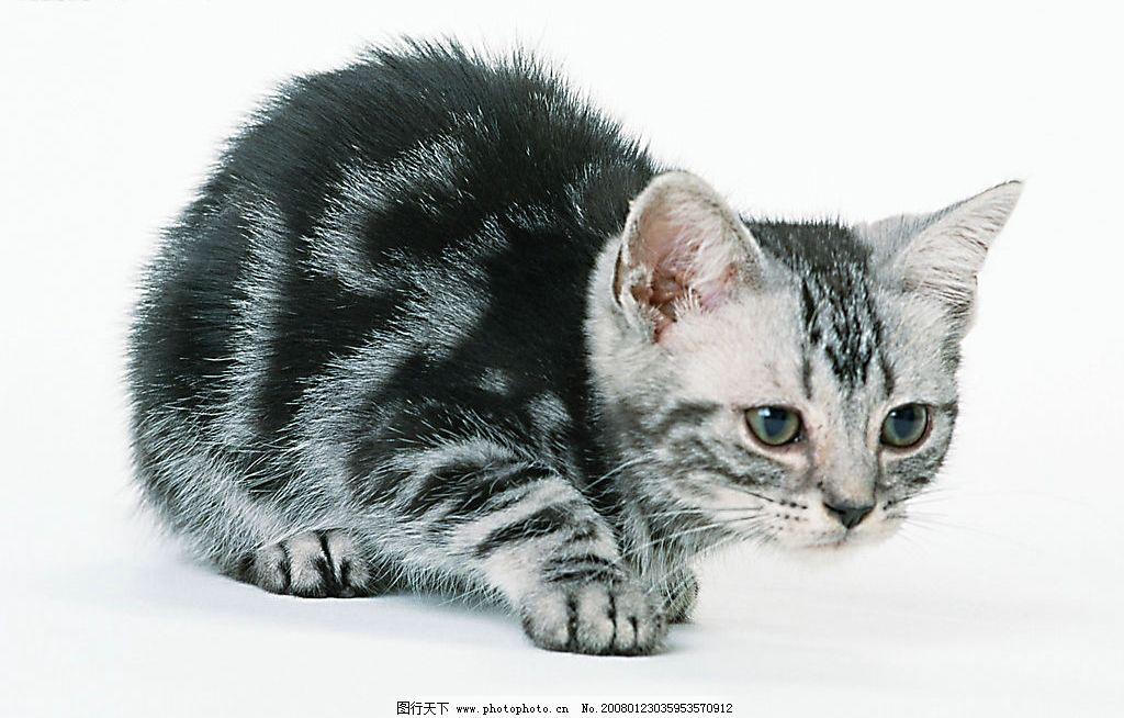 黑白花猫 猫 动物 宠物 可爱 家猫 可爱之猫 生物世界 家禽家畜 摄影