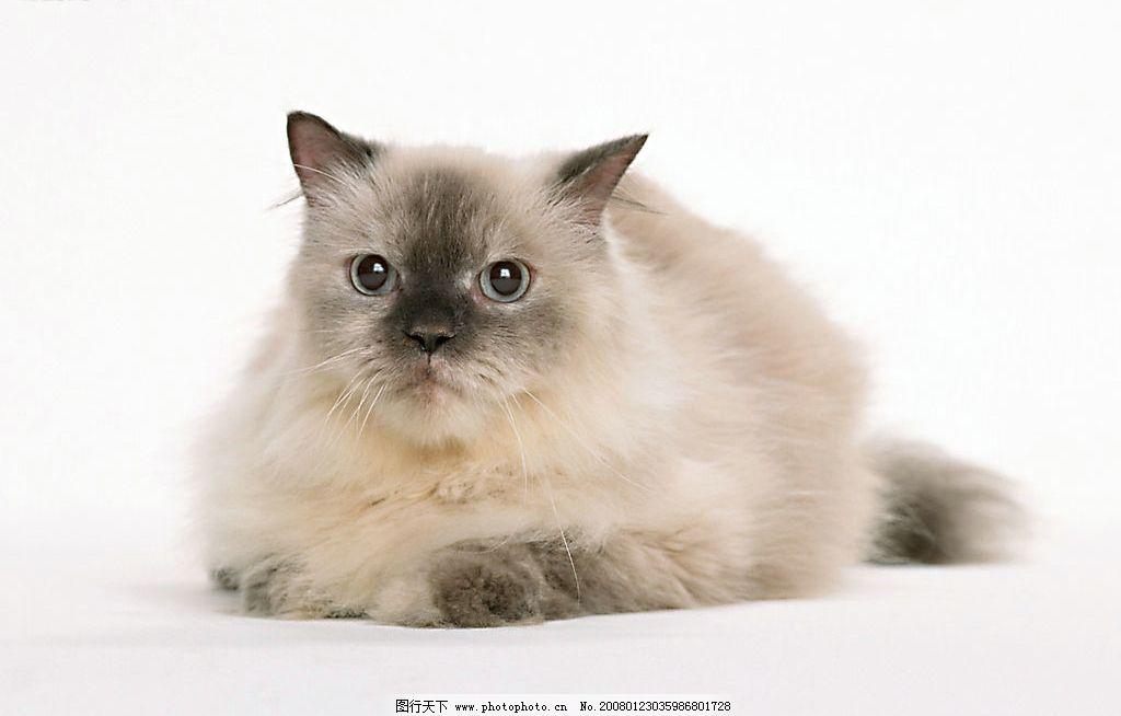 可爱黑脸猫 猫 动物 宠物