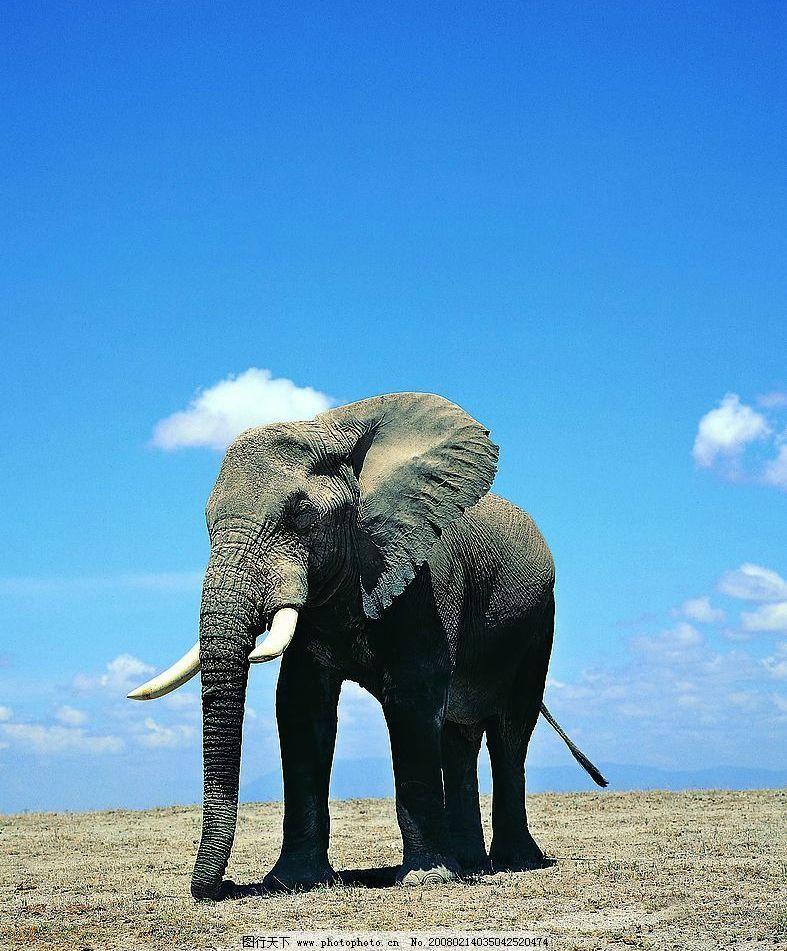 蓝天下鼻子拖地的大象 动物 大象 生物世界 野生动物 大象王国 摄影