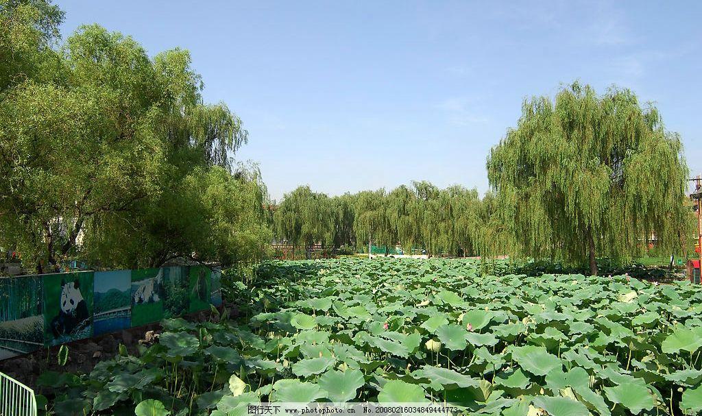 荷塘 公园风光 自然景观 自然风景 摄影图库 300 jpg