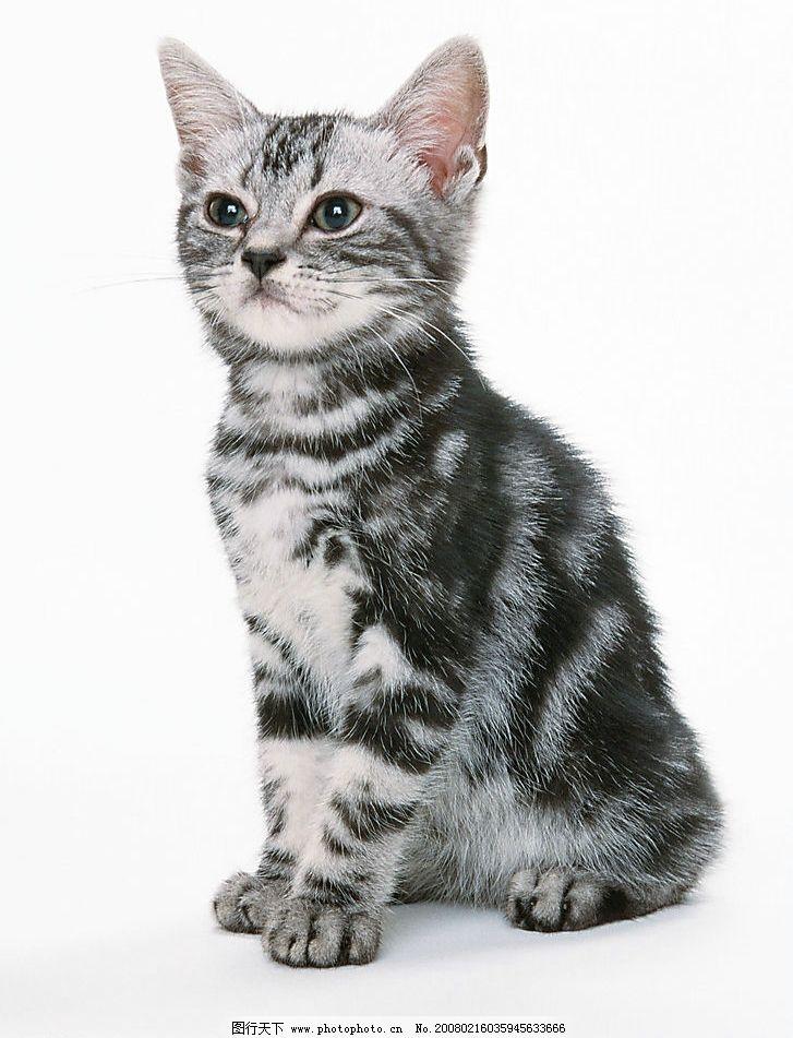 黑白花猫图片