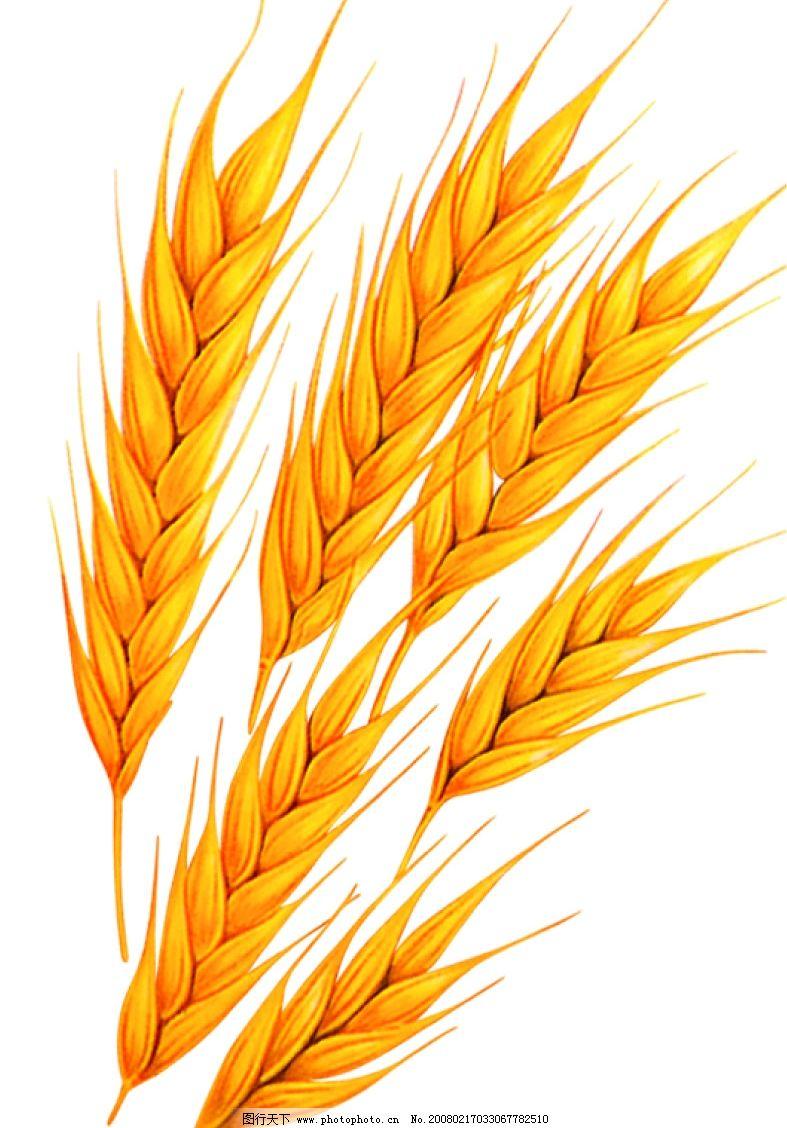 小麦花的结构示意图