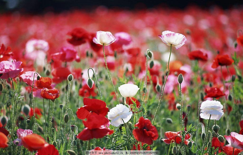 罂粟 罂粟花土壤阳光鲜花生长花朵植物花丛花卉鲜艳花芯花瓣 生物世界