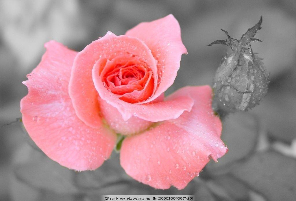 玫瑰 自然景观 自然风景 图片素材 摄影图库 72 jpg