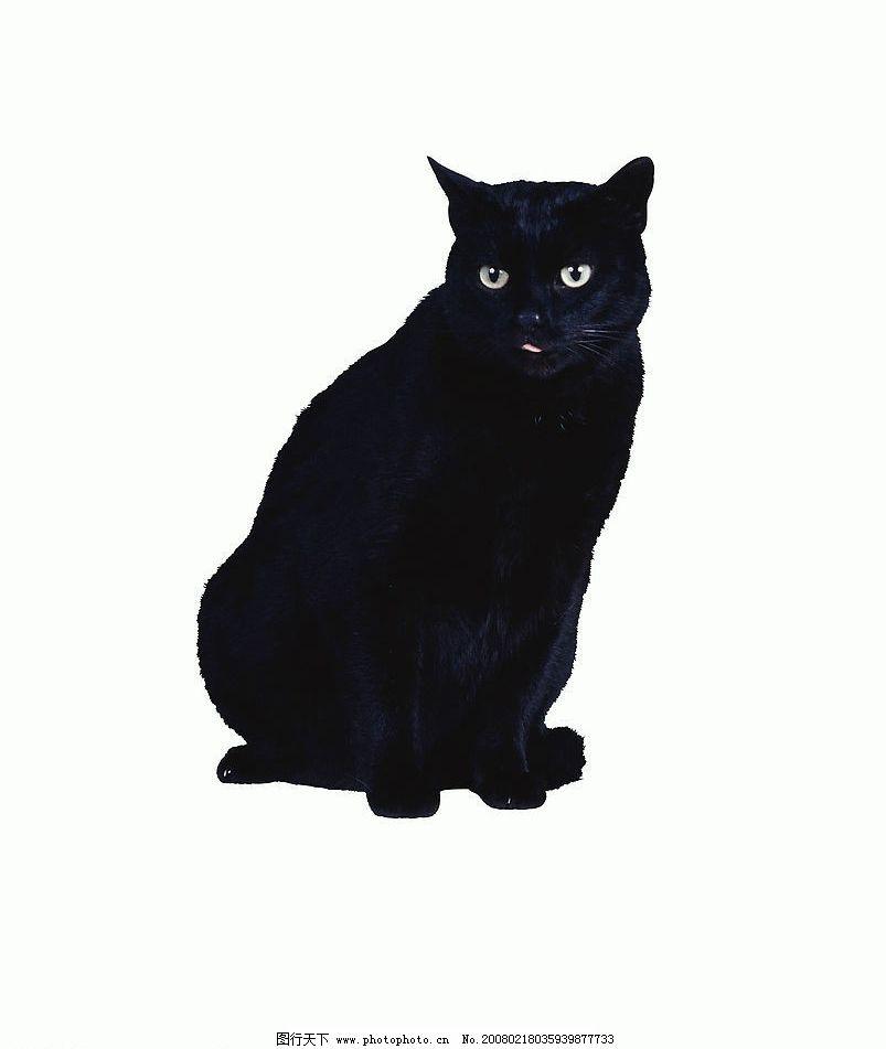 黑猫 猫 动物 宠物 可爱 家猫 可爱之猫 生物世界 家禽家畜 摄影图库