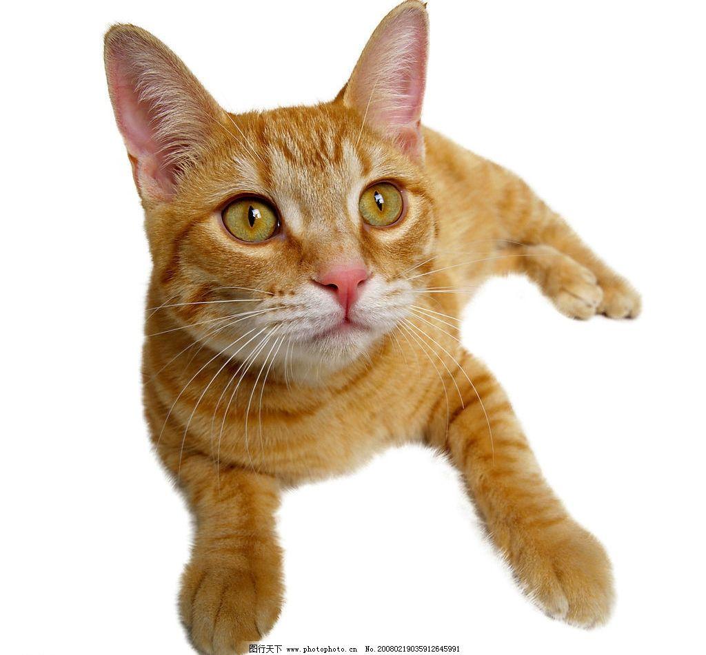 家猫 猫 动物 宠物 可爱 可爱之猫 生物世界 家禽家畜 摄影图库 300