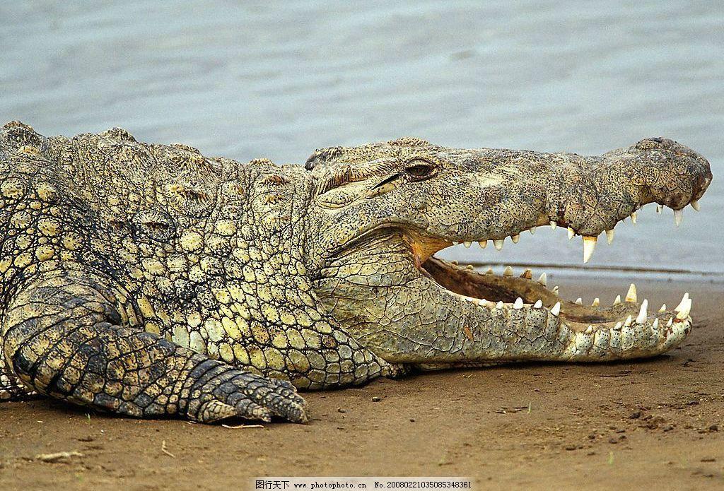 鳄鱼 动物摄影 生物世界 野生动物 摄影图库 72 jpg