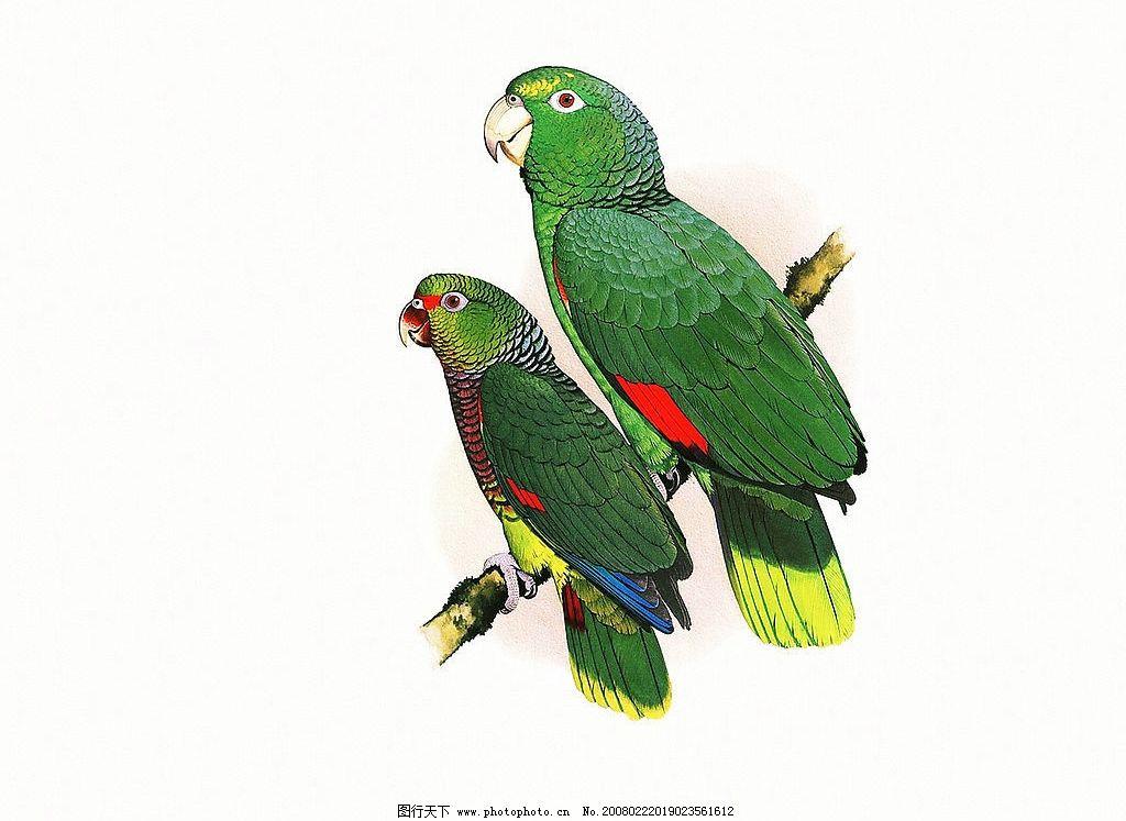 鹦鹉 鹦鹉的画 工笔画 花鸟 鸟 特写 文化艺术 绘画书法 设计图库 300