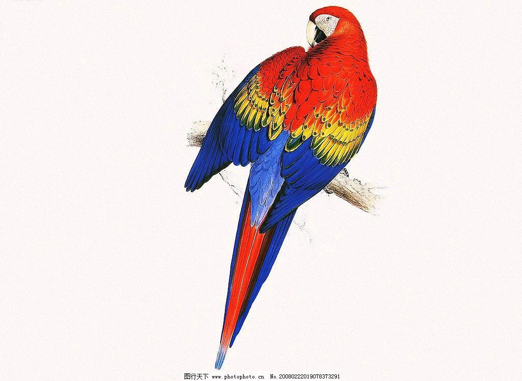鹦鹉 鹦鹉的画 工笔画 花鸟 特写 文化艺术 绘画书法 设计图库 300 jp