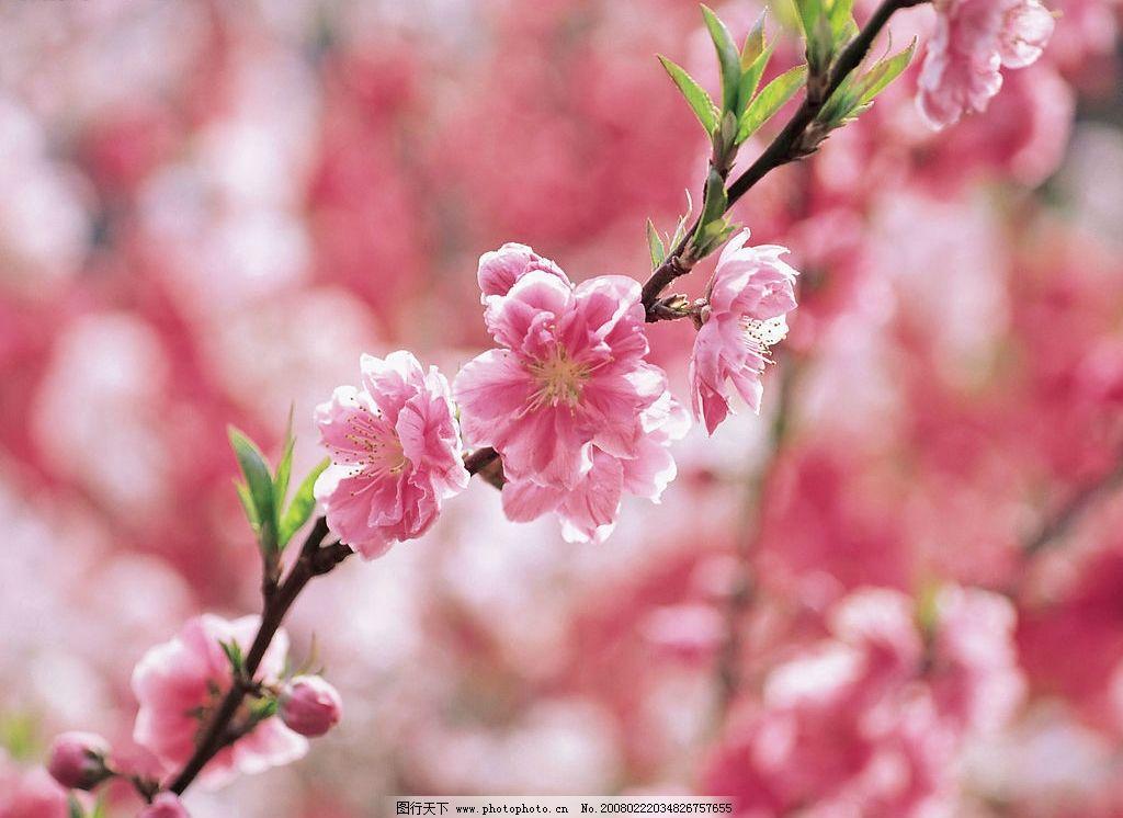 桃花 春天 自然景观 自然风景   摄影图库 72 jpg
