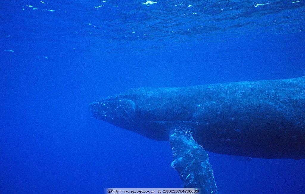 鲸鱼 蓝色海洋,海洋动物,鲸鱼 生物世界 海洋生物 海洋动物 摄影图库