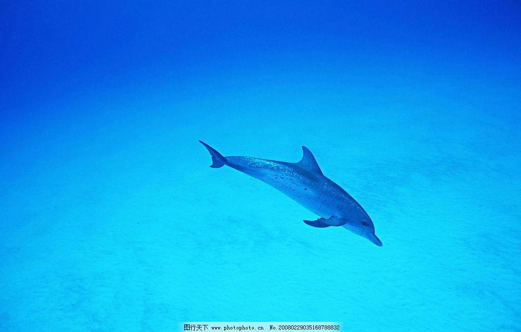海豚 海洋动物 海洋生物 蓝色海洋 生物世界 摄影图库 350 jpg