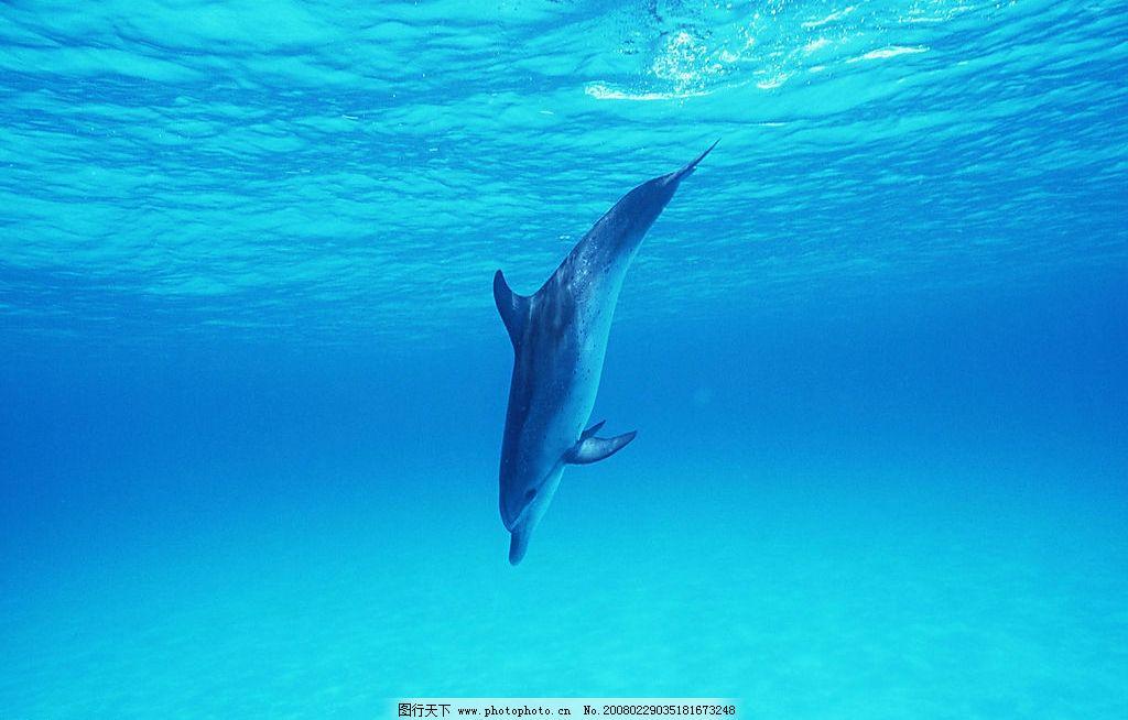 海豚 海洋动物 海洋生物 蓝色海洋 生物世界 摄影图库