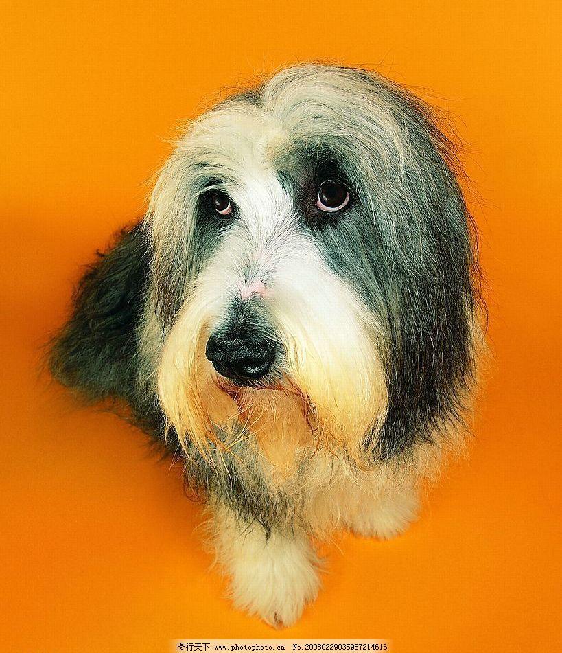 外国狗 犬 名犬 动物 宠物 可爱 宠物之狗 摄影图库