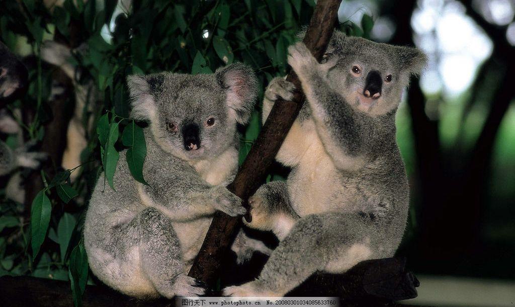 澳洲考拉 动物 树懒 旅游摄影 国外旅游 摄影图库 350 jpg