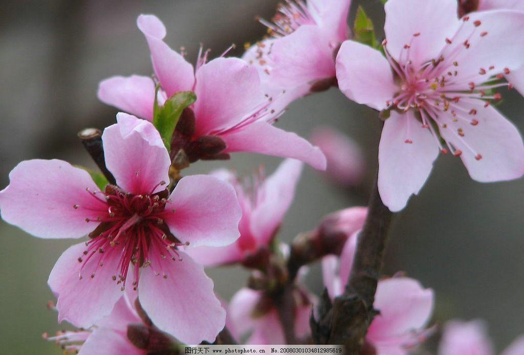 春天的桃花图片