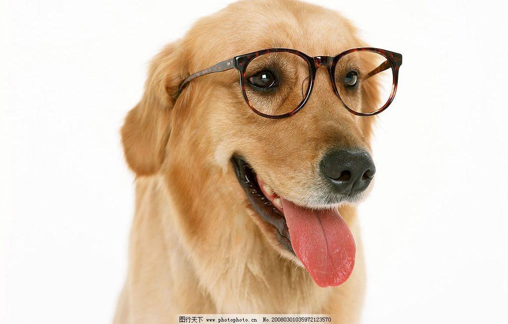 金毛犬 狗 名犬 动物 宠物 可爱 宠物之狗 导盲犬 摄影图库