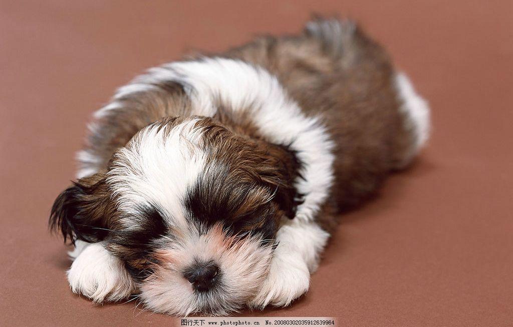 可爱小狗 狗 犬 名犬 动物 宠物 可爱 宠物之狗 生物世界 家禽家畜