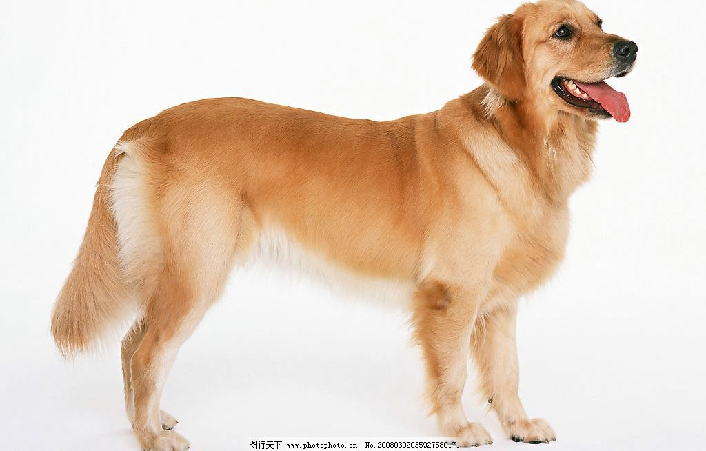 名犬 动物 宠物