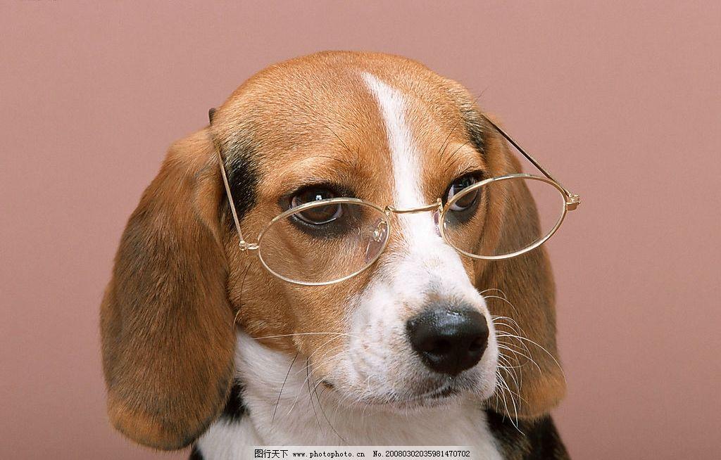 带眼镜的狗 狗 犬 名犬 动物 宠物 可爱 宠物之狗 眼镜 生物世界 家禽