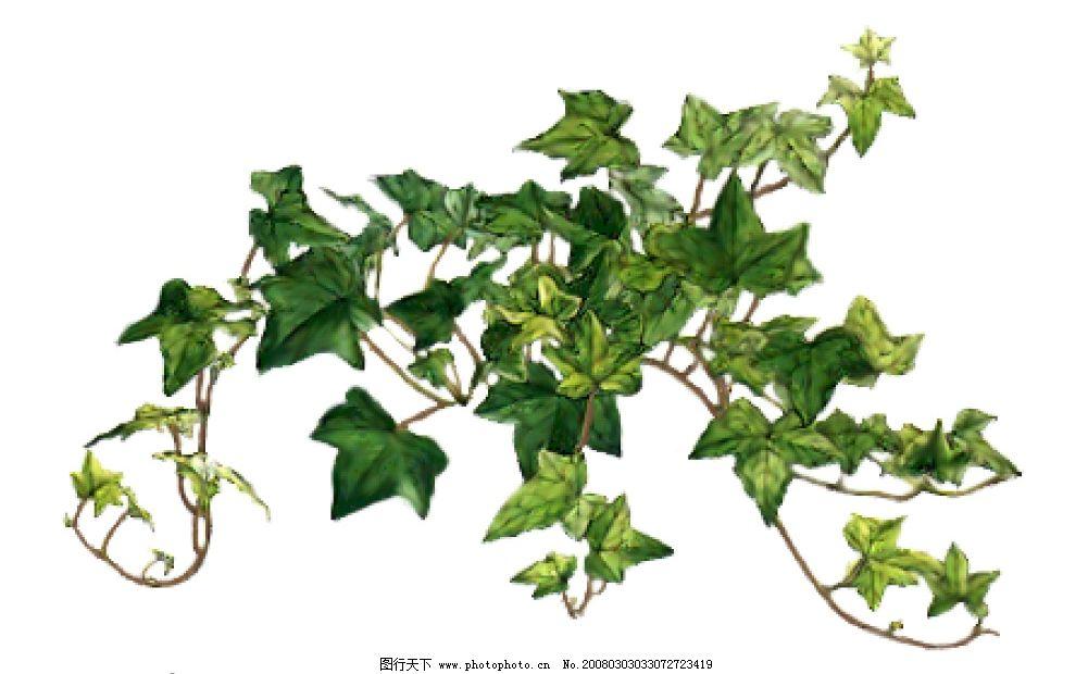 常青藤 植物,常青藤 psd分层素材 其他 源文件库   psd