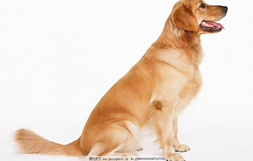 名犬 狗 犬 动物 宠物 可爱 宠物之狗 生物世界 家禽家畜 摄影图库