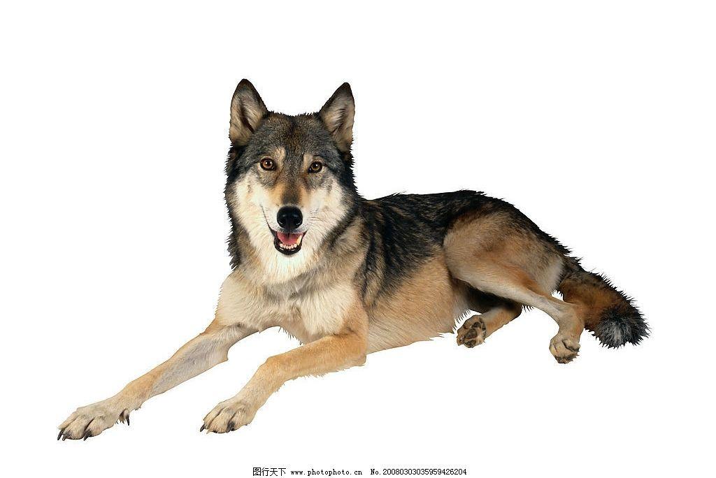 狼狗 狗 犬 名犬 动物 宠物 可爱 宠物之狗 狼 生物世界 家禽家畜